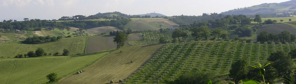Olive groves and hills Treia Le Marche Italy