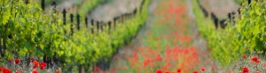 Le Marche Italy poppies and vines