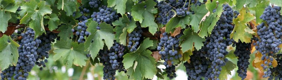 vinees marche italy