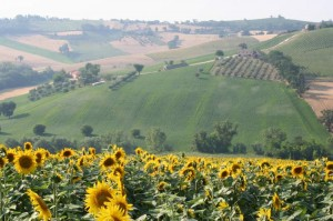 sunflowers on a tour in Le Marche Italy