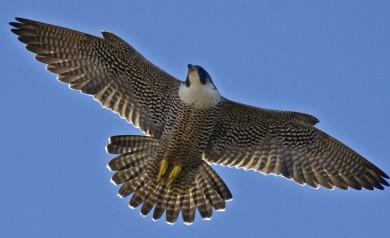 Bird watching Italy - peregrine falcon