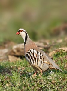 bird watching holidays in Italy - rock-partridge