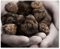 le marche truffle hunting italy