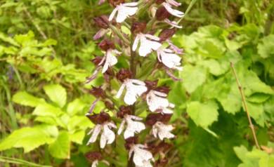 Italian lady orchids le marche