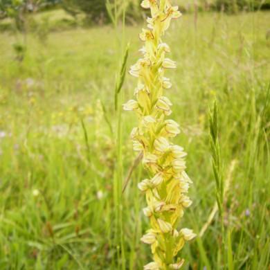 man orchids le marche italy