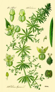 Galium aparine cleavers edible