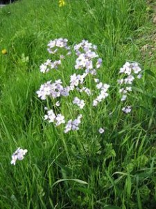 Foraging cuckoo flower