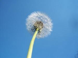 dandelion-forage