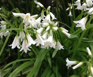 wild-garlic- forage